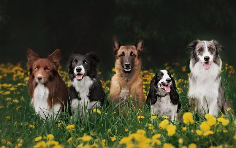 10 fakta du antagligen inte visste om hundar (del 1)