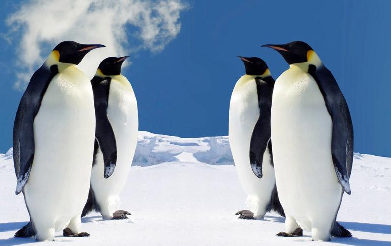 10 fakta du antagligen inte visste om pingviner