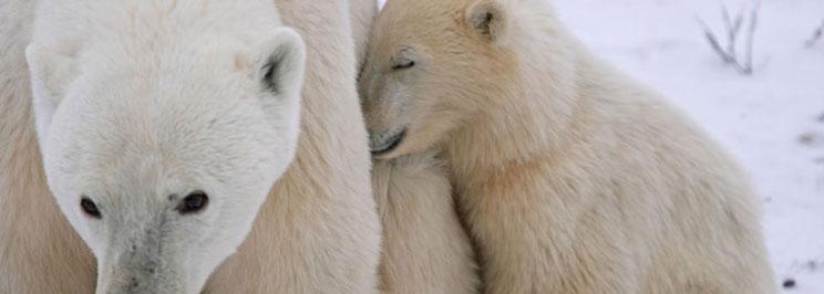 Classic-Polar-Bears-5-bear-