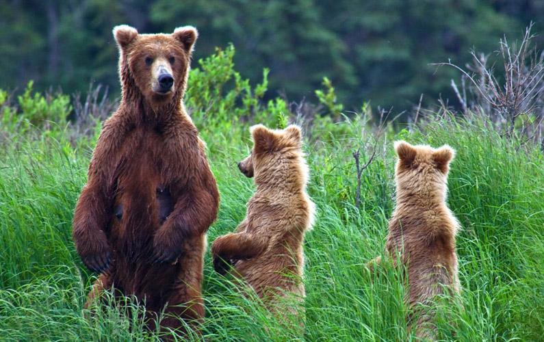 10 fakta du antagligen inte visste om björnar