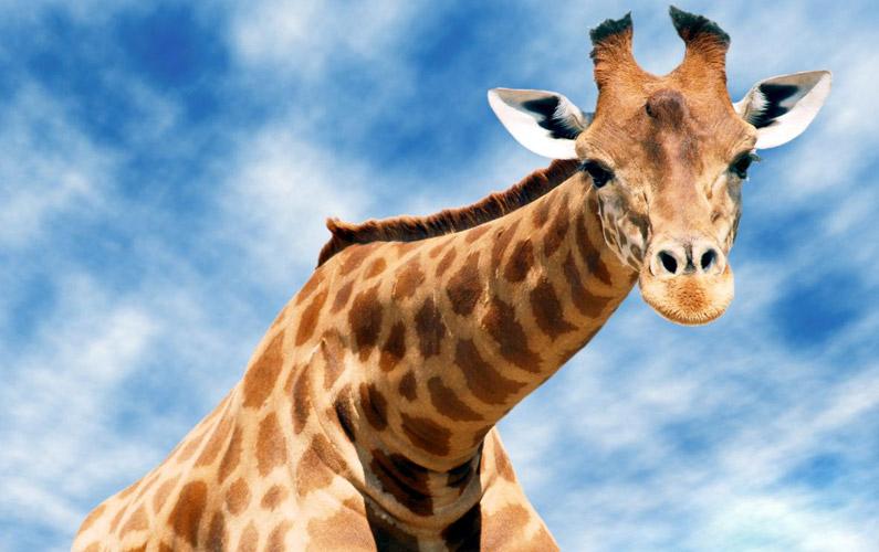 10 fakta du antagligen inte visste om giraffer