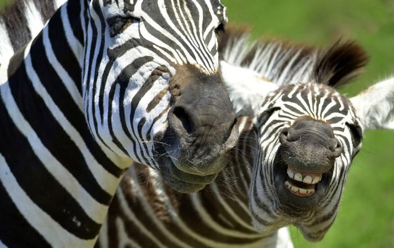 10 fakta du antagligen inte visste om zebror