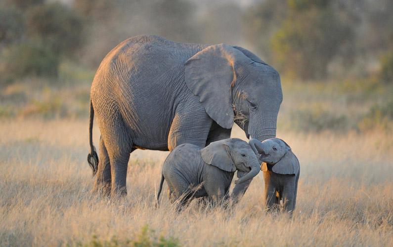 elefant gravid