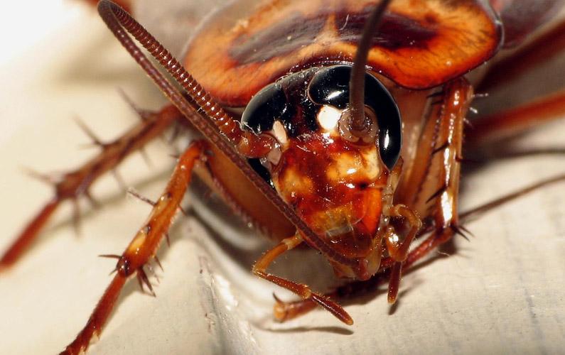 10 fakta du antagligen inte visste om kackerlackor
