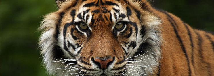 tigrarfokus