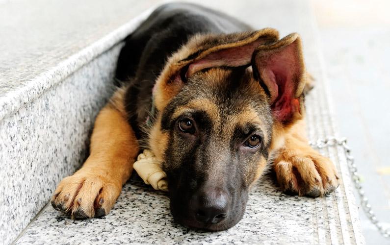 10 fakta du antagligen inte visste om schäferhund