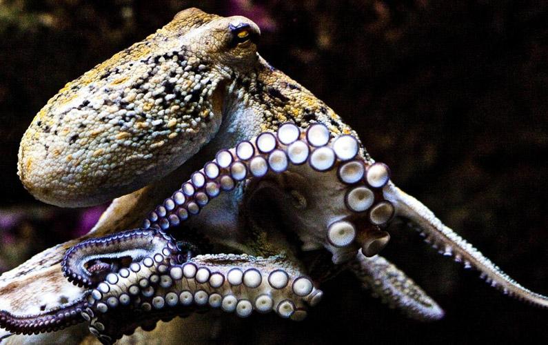 10 fakta du antagligen inte visste om bläckfiskar