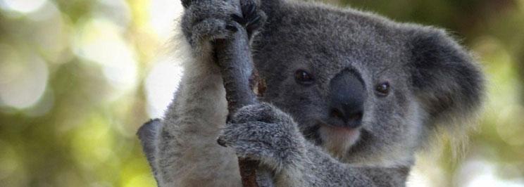koalabjornar1