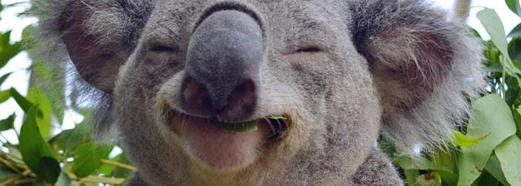 koalabjornar2