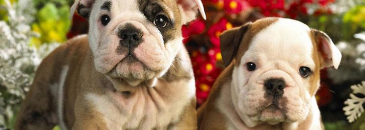 franskbulldog1