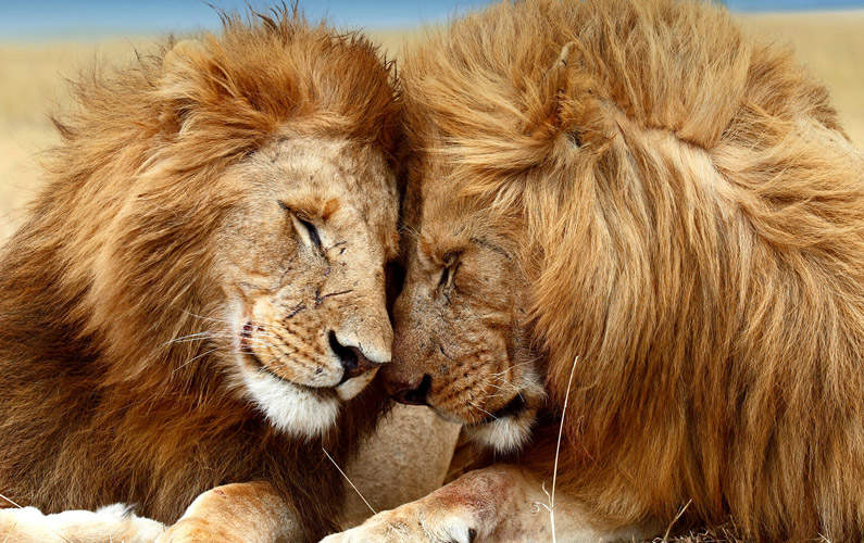 10 fakta du antagligen inte visste om lejon