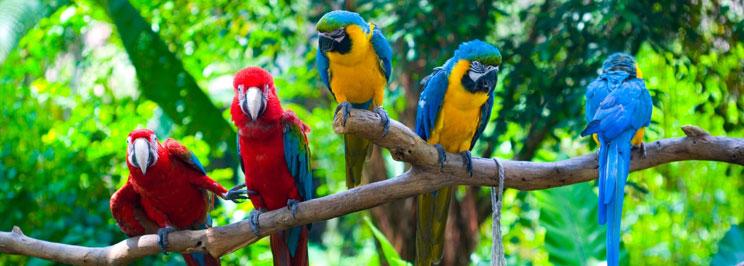 papegojorfokus