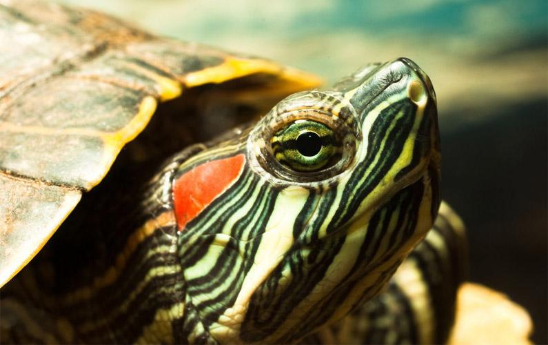 10 fakta du antagligen inte visste om rödörad vattensköldpadda