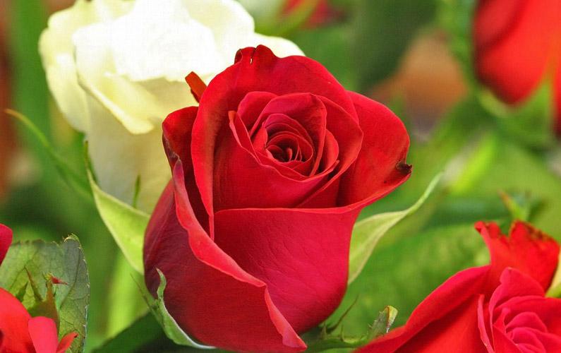 10 fakta du antagligen inte visste om rosor