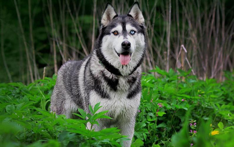 10 fakta du antagligen inte visste om Siberian Husky