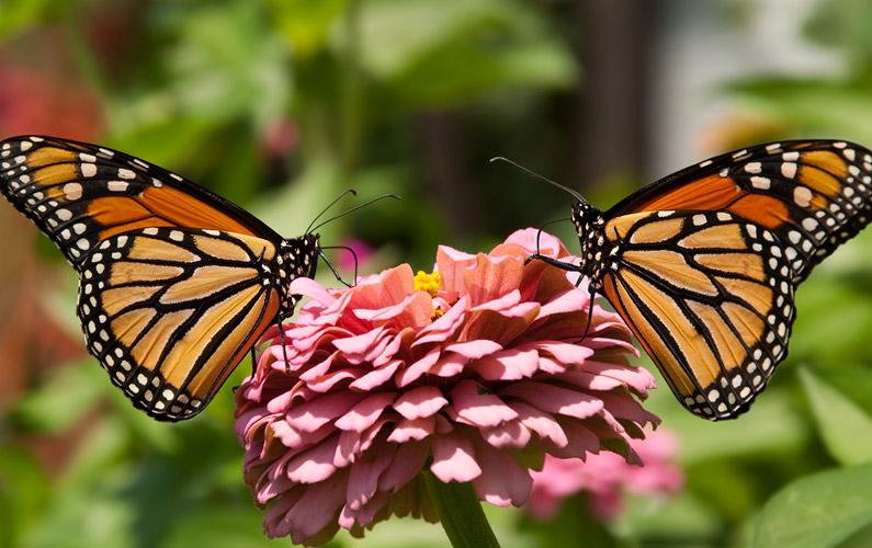 10 fakta du antagligen inte visste om fjärilar