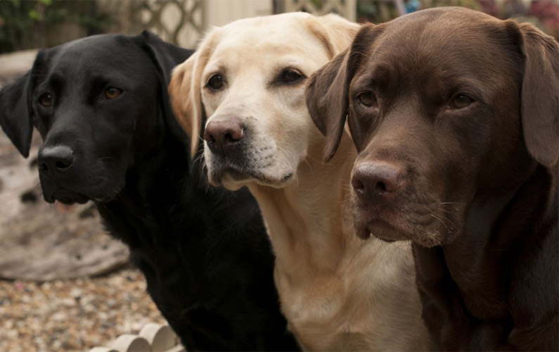 10 fakta du antagligen inte visste om labradorer