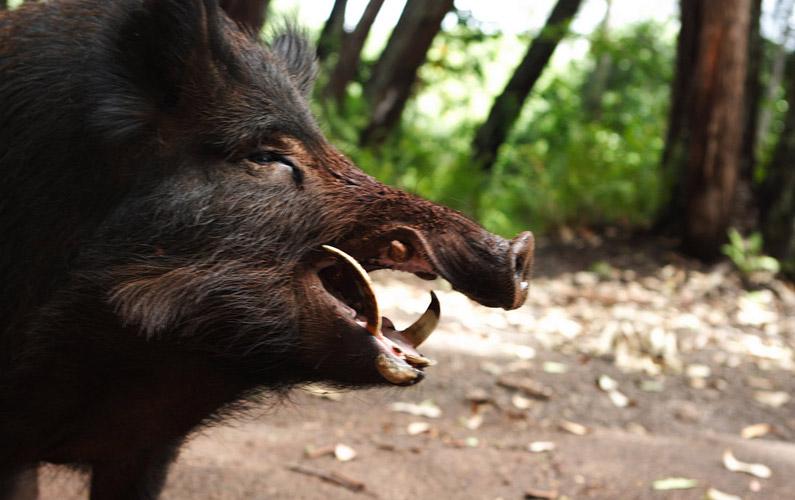 10 fakta du antagligen inte visste om vildsvin
