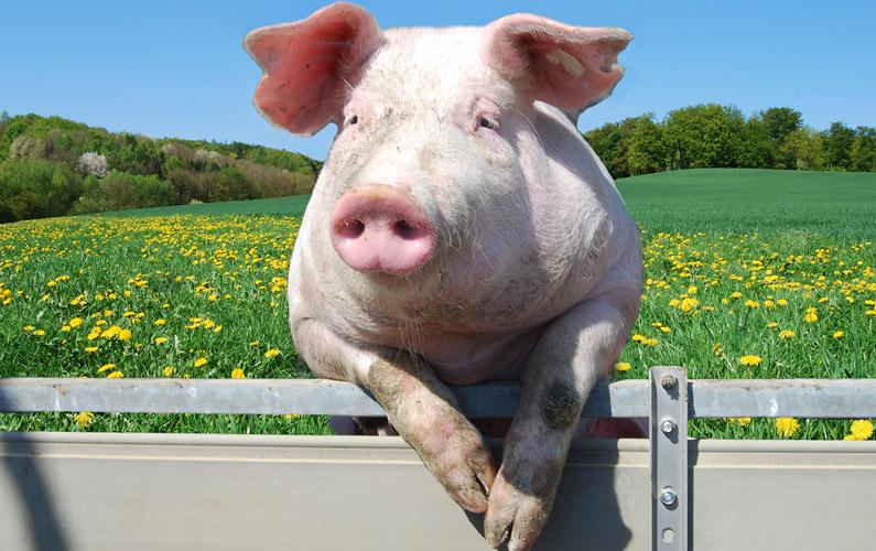 10 fakta du antagligen inte visste om grisar