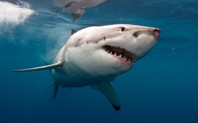 10 fakta du antagligen inte visste om hajar