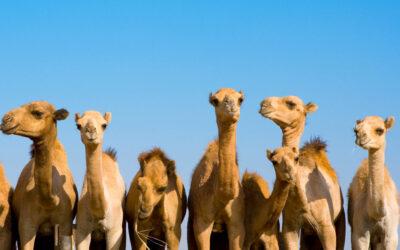 10 fakta du antagligen inte visste om kameler