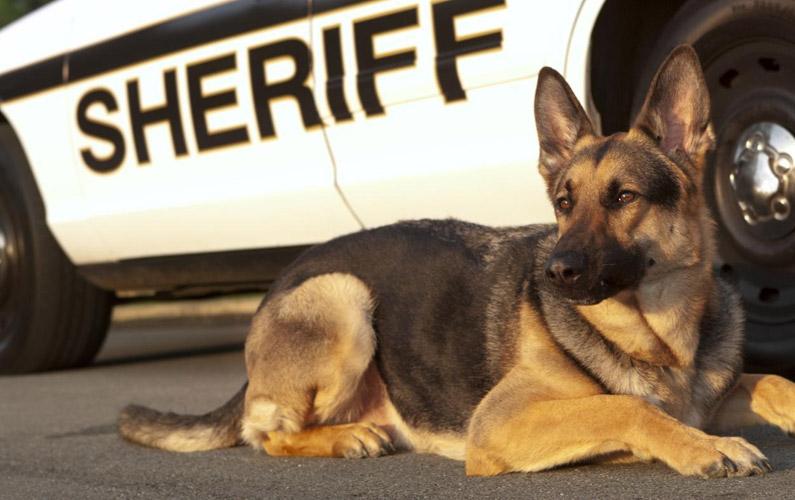10 fakta du antagligen inte visste om polishundar