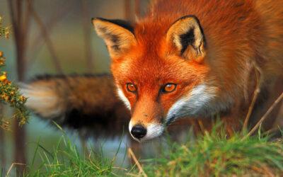 10 fakta du antagligen inte visste om rävar