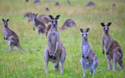 10 fakta du antagligen inte visste om kängurus