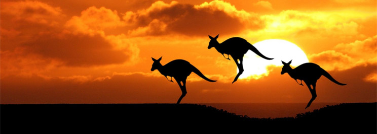 känguru som slåss