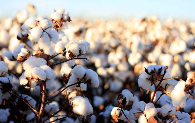 10 fakta du antagligen inte visste om bomull