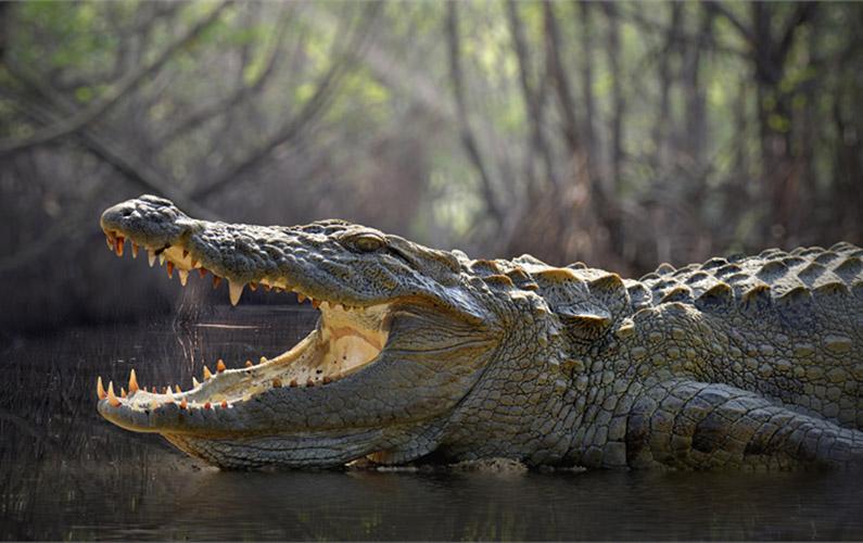 10 fakta du antagligen inte visste om krokodiler