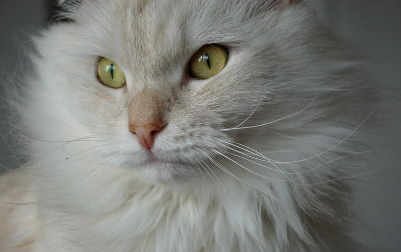 10 fakta du antagligen inte visste om sibirisk katt