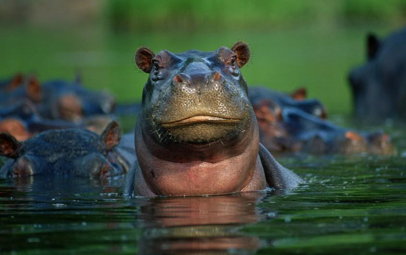 10 fakta du antagligen inte visste om flodhästar