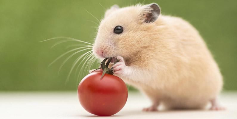 vad kan en hamster äta