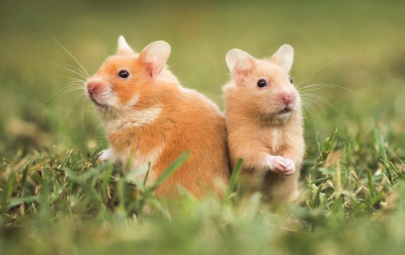 10 fakta du antagligen inte visste om hamstrar