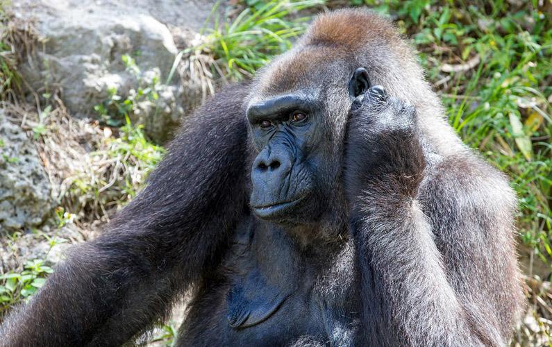 10 fakta du antagligen inte visste om gorillor