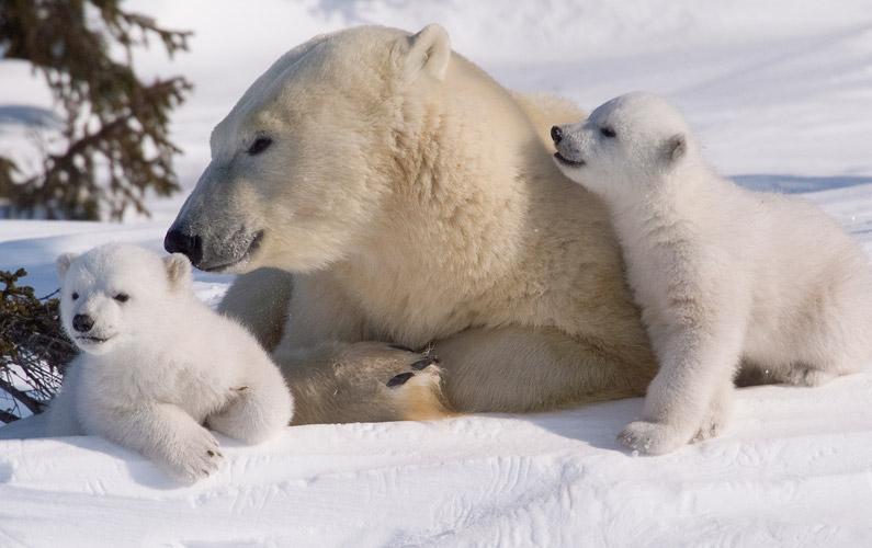 10 fakta du antagligen inte visste om isbjörnar