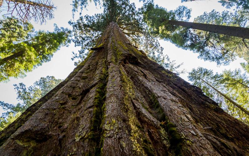 10 fakta du antagligen inte visste om träd