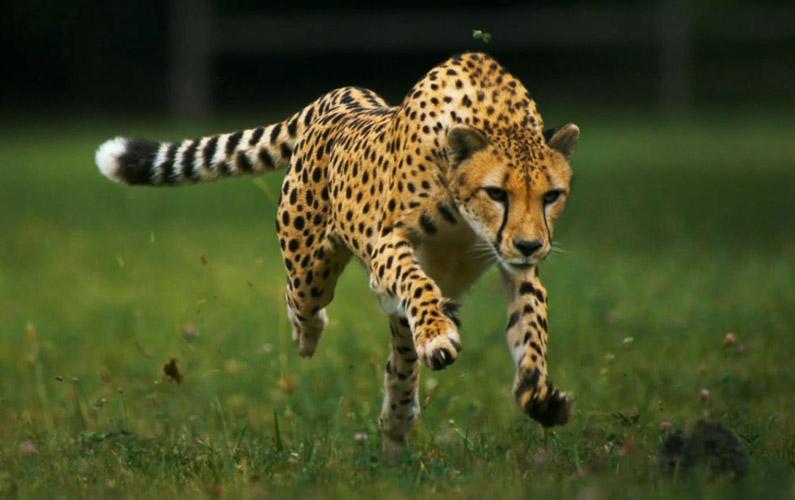 10 fakta du antagligen inte visste om geparder