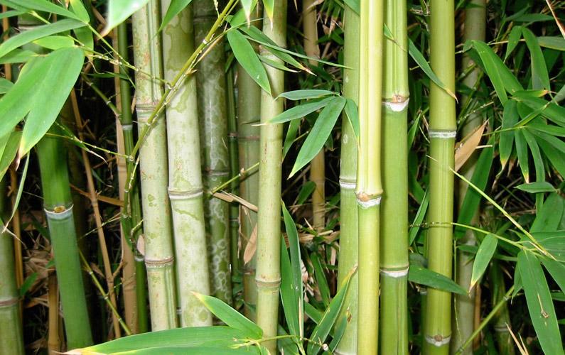10 fakta du antagligen inte visste om bambu