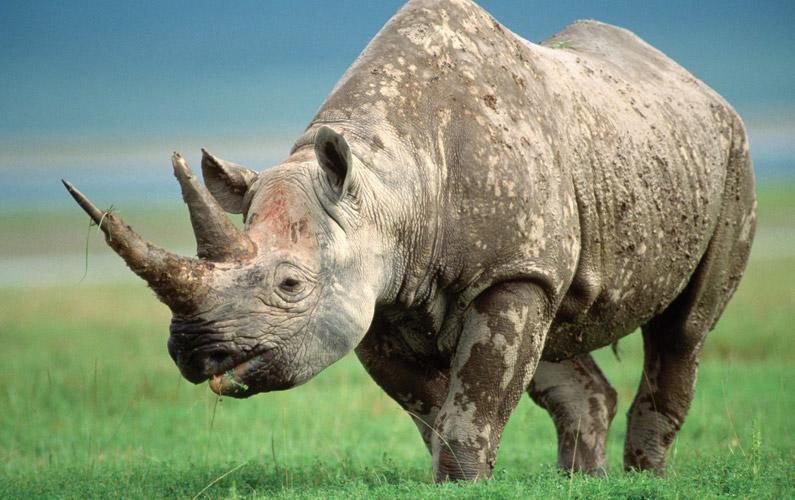 10 fakta du antagligen inte visste om noshörningar