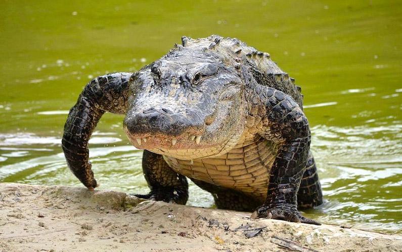 10 fakta du antagligen inte visste om alligatorer