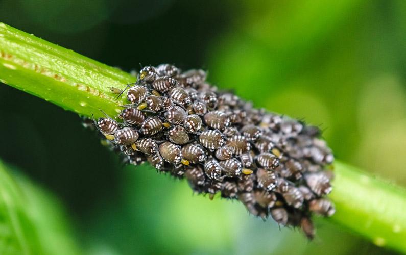 10 fakta du antagligen inte visste om bladlöss