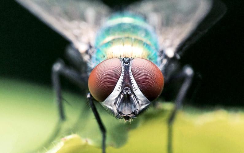 10 fakta du antagligen inte visste om flugor
