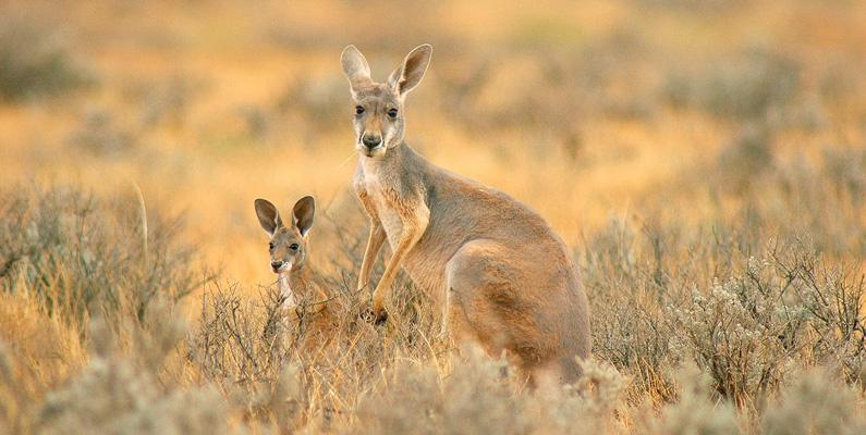 Det bor fler kängurus i Australien än människor!