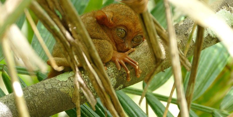 Under de senaste tio åren har hela 16 nya däggdjur upptäckts och namngetts i Filippinerna! Mer än någon annanstans på planeten!