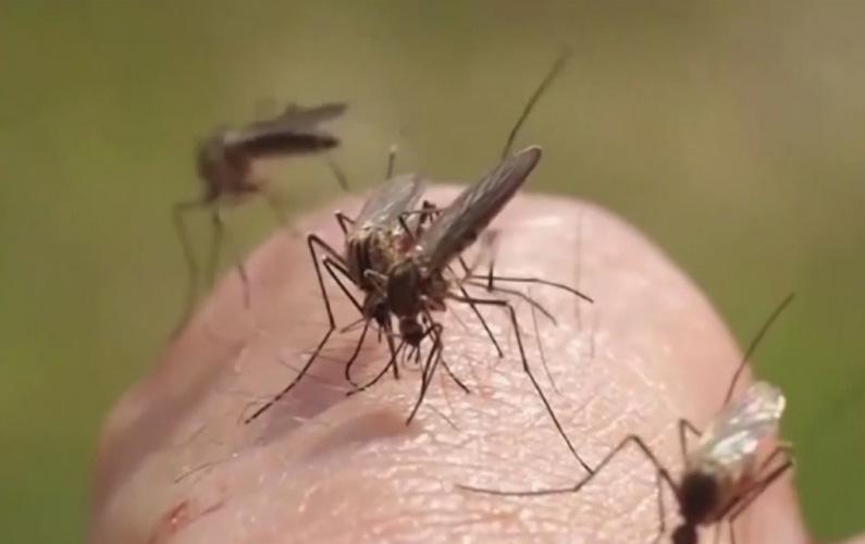 10 fakta du antagligen inte visste om myggor