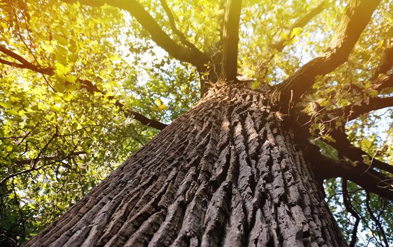 10 fakta du antagligen inte visste om ekträd