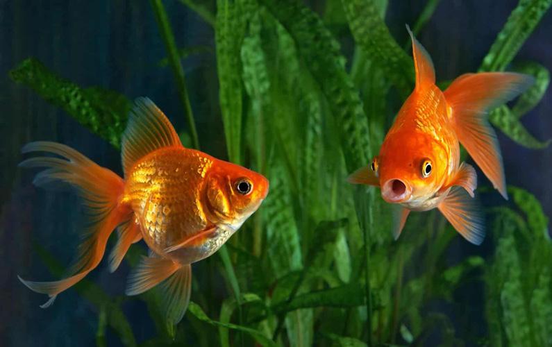 10 fakta du antagligen inte visste om guldfiskar
