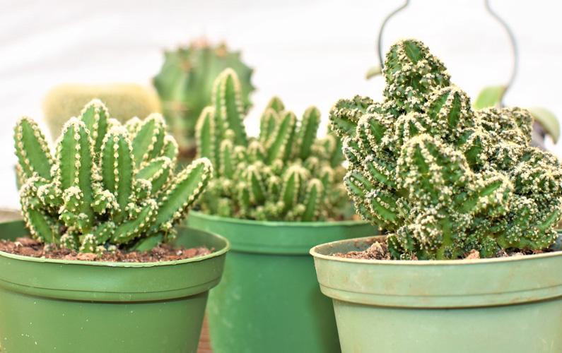 10 fakta du antagligen inte visste om kaktusar